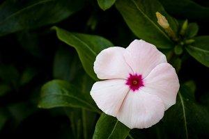 Periwinkle #3 - Pink Flower