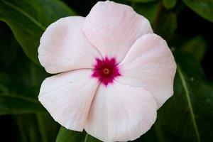 Periwinkle #4 - Pink Flower