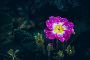 Primrose #1 - Purple Flower