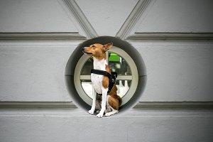 Basenji dog in harness sits in