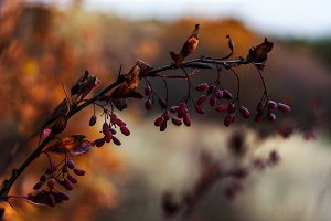 Berries of barberry on branch autumn