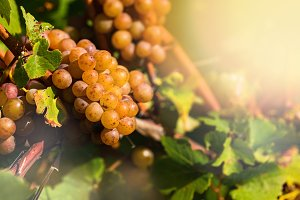 White Grapes in a Vineyard at Sunset