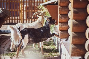 Goats eat grass on the farm