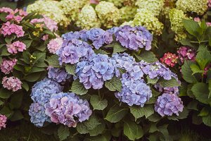Flowers blue and pink hydrangeas