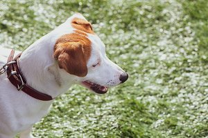 Jack Russell Terrier at the dog show