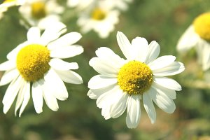 White Daisy Flowers Out Of Focus