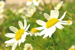 Soft White Daisy Flowers