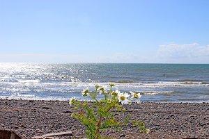 Beach Sea Daisy Flowers