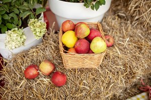 Fresh harvest of apples. Nature them