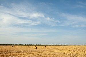 Harvesting wheat in sunny, rural fie