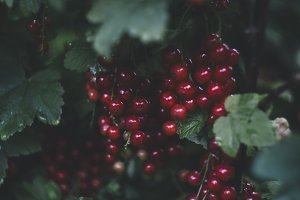 currant, ribes, red currant