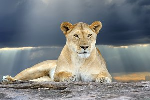 African lion in the Park South Afric