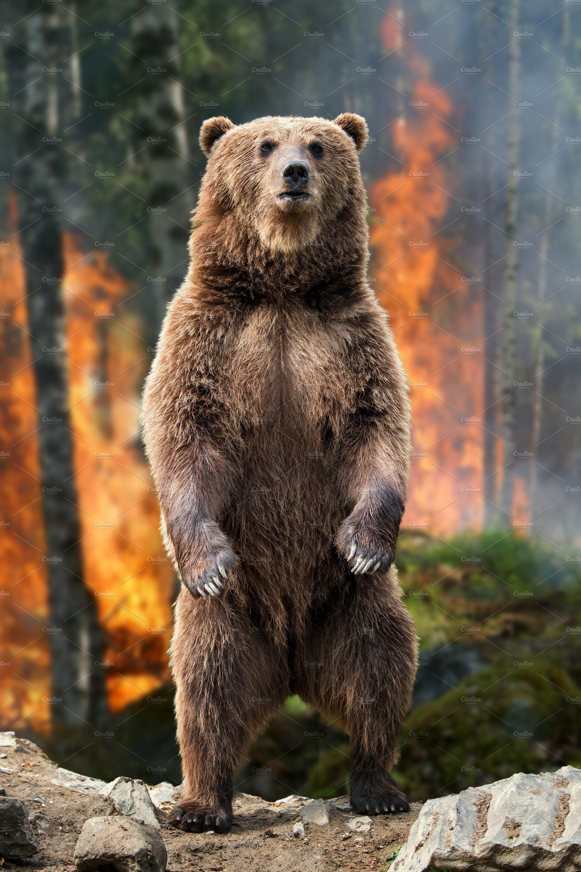 Big Brown Bear Standing Stands In Bu Animal Photos