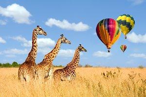 Group giraffe in National park of Ke