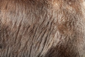 Real brown bear fur texture
