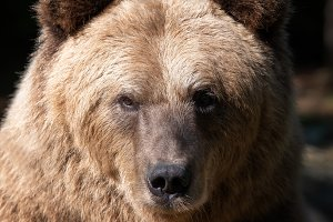 Portrait brown bear in the forest