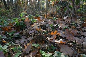 Mushrooms in autumn forest 01