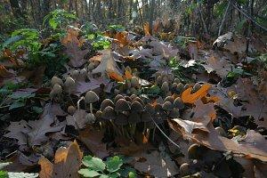Mushrooms in autumn forest 02