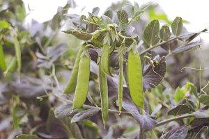 harvest fresh bio bean