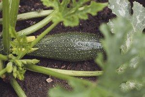 harvest fresh bio zucchini, courgett