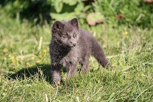 Arctic fox cub