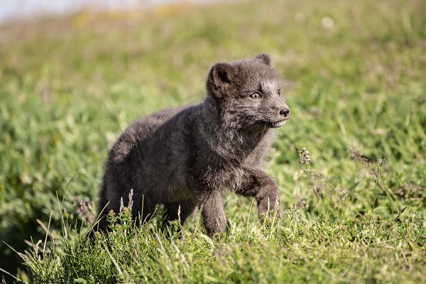 Animal Stock Photos: Nature and travel - Arctic fox cub