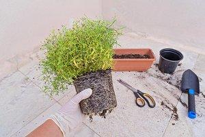 Woman re-potting plant