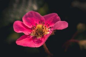 Strawberry Pink Flower #12