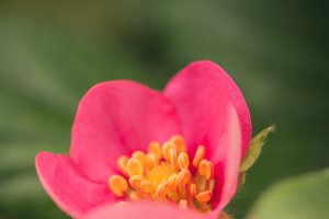 Strawberry Pink Flower #10