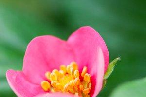 Strawberry Pink Flower #11
