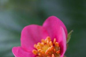Strawberry Pink Flower #