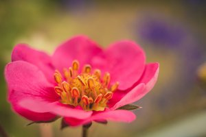Strawberry Pink Flower #9