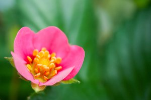 Strawberry Pink Flower 6
