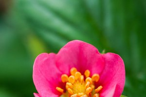 Strawberry Pink Flower #5