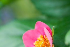 Strawberry Pink Flower #4