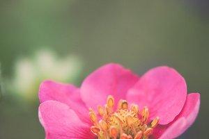 Strawberry Pink Flower #1