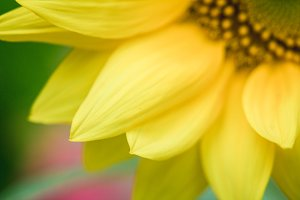 Sunflower #3 - Yellow Garden Flower