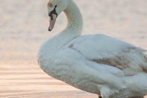 Swan #3 - Water Bird