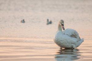 Swan #1 - Water Bird