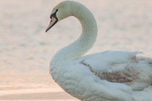 Swan #2 - Water Bird