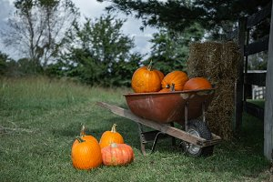 Wheelbarrow of Pumpkins on Fall Farm