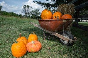 Wheelbarrow of pumpkins in Fall Farm
