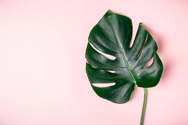 Monstera leaf on a pink background…
