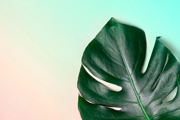 Monstera leaf on pastel gradient ba…