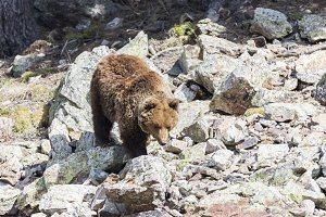 brown bear searching for food