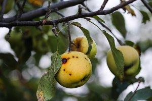 Little Wild Apple
