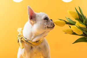 french bulldog dog and yellow tulips