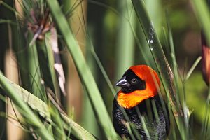 Southern Red Bishop (Euplectes orix)