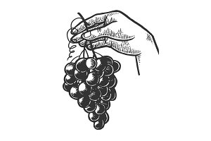 Bunch of grapes in woman hand vector