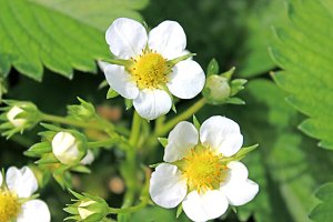 White Strawberry Flowers